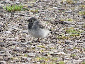 Photo: 29 Jun 13 Priorslee Lake: Juvenile Pied Wagtail on the dam: just a hint of the yellow gape even though this bird was fully independent. In the photo seems to have a deformed leg, but was not obvious as it moved around. (Ed Wilson)