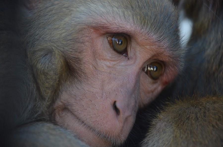 monkey by Ibrahim Malik - Animals Other ( face, brood, monkey )