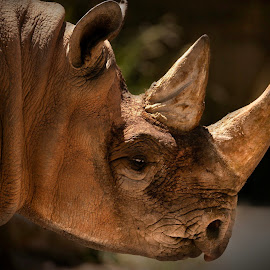 Black Rhino  by Paul Fine - Animals Other ( africa, horn, rhinoceros, rare, endangered )
