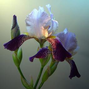 Iris by Ilona Stefan - Flowers Flower Buds (  )