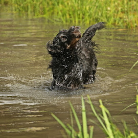 Gordon Setter by David Parkin - Animals - Dogs Playing ( gordon setter, dogs, splash, setter, shaking, dog )