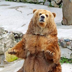 bear by Oleg Verjovkin - Animals Other ( bear, zoo, mezapark, latvia )