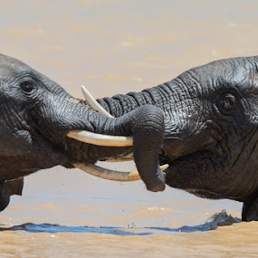 Elephants Tussle by Martin Oosthuizen - Animals Other Mammals ( elephant tussle trunk water pachyderm )