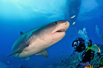 Photo: Tiger Shark, Bahamas