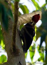 Photo: Pale-billed Woodepcker at La Bajada