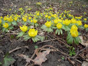 Photo: A téltemető (Eranthis hyemalis) nevű, a boglárkafélék családjába tartozó apró, egyvirágú növény