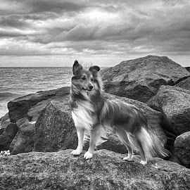Benji on the rocks in mono by Fiona Etkin - Black & White Animals ( clouds, water, nature, black and white, pet, dramatic, beach, landscape, dog, rocks, sheltie, animal )