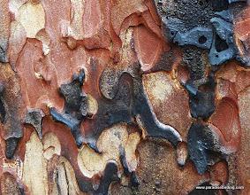 Photo: Ponderosa pine bark art. Black Butte Burn.
