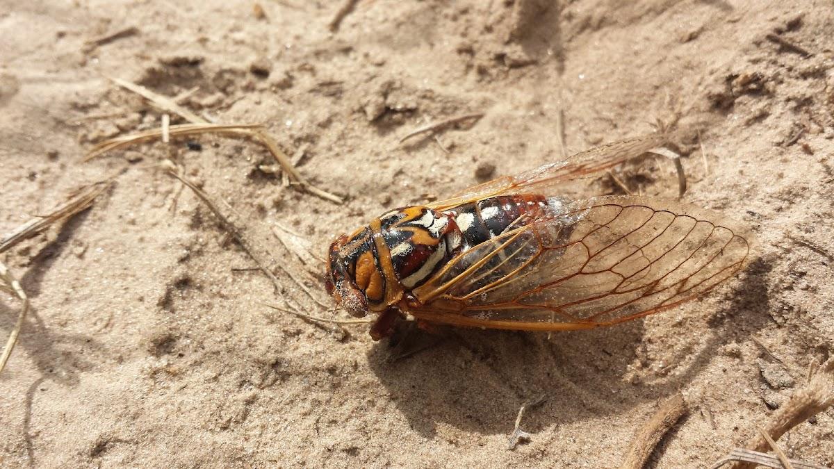 Bush Cicada / Grand Western Cicada