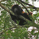 Red-handed Howler Monkey