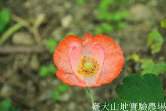 Photo: 拍攝地點: 梅峰-溫帶花卉區 拍攝植物: 虞美人 拍攝日期:2013_07_04_FY