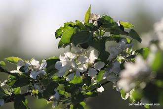 Photo: Sunrise apple blossoms