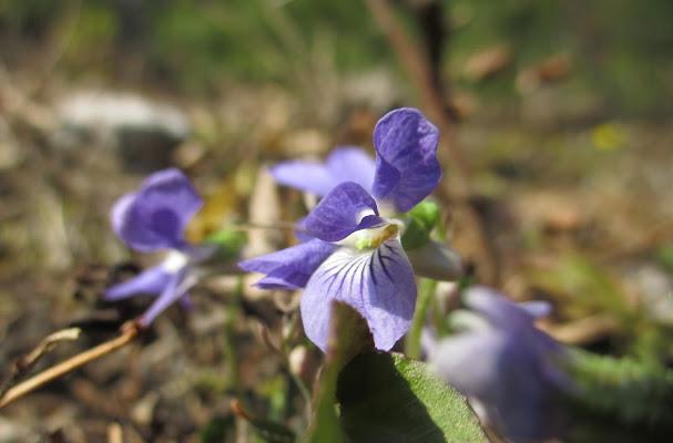 Violette di bosco di LunaStorta