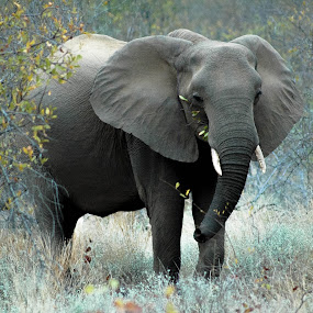Elephant by Franco van Vuuren - Animals Other Mammals ( elephant, south africa, africa, mammal, large )
