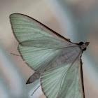 Lime green moth