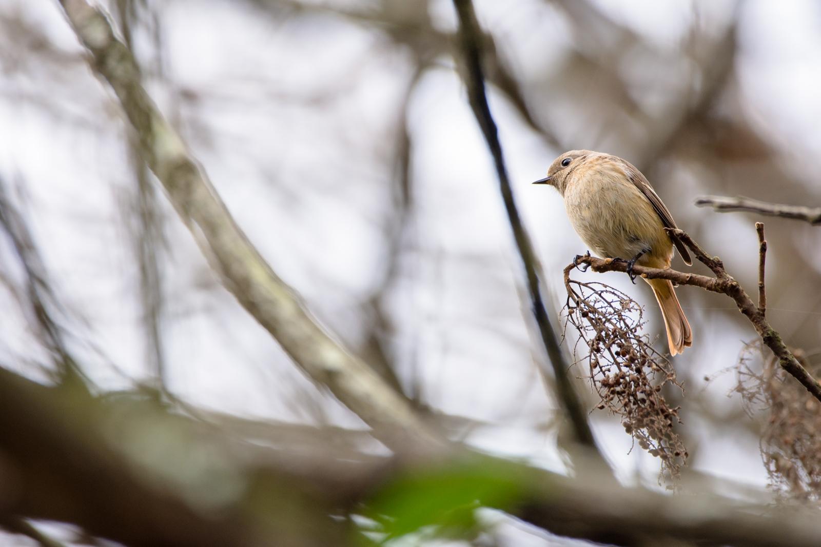 Photo: 「旅への備え」 / Preparing to journey.  長い道のりになるのかな 脳裏に浮かぶ故郷の景色 今はただ淡々と 旅に向けて  Daurian redstart. (ジョウビタキ)  Nikon D7200 SIGMA 150-600mm F5-6.3 DG OS HSM Contemporary  #birdphotography #birds #kawaii #小鳥 #nikon #sigma #小鳥グラファー  ( http://takafumiooshio.com/archives/1255 )