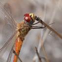 Globe Skimmer (male)