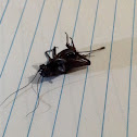 Field Cricket ( Female )