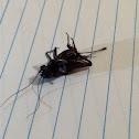 Field Cricket ( Female )