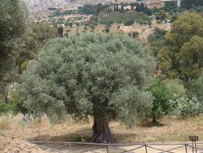 Photo: Quel âge, cet olivier ?