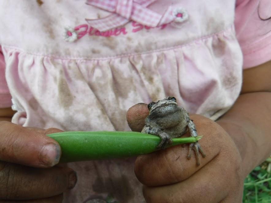 スナップエンドウの敷きわらにすむカエルちゃん、エンドウを掴みました。
