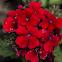 Tuscany Scarlet Verbena