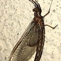 Common Burrower Mayfly