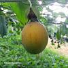 Granadilla - Passion fruit