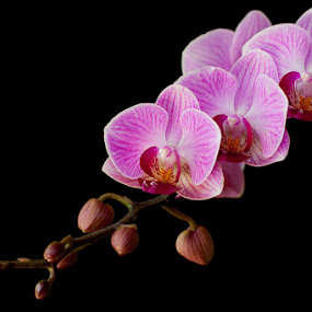 Purple and Black by Anita  Christine - Nature Up Close Flowers - 2011-2013 ( plant, red, purple, nature, orchid, phalaenopsis, black )
