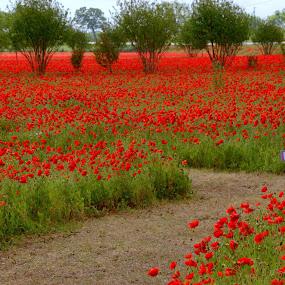 Red Sea of Corn Poppies by Roxana McRoberts - Flowers Flower Gardens ( flowers )