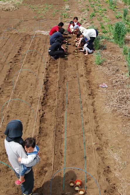 枝豆とレタスも植えました。今の時期なら、きっと防虫ネットを張らなくても枝豆膨らむはず。