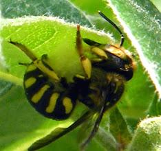 """Photo: Sous une feuille de cognassier une Anthidie """"Anthidium manicatum"""" récolte du duvet pour élaborer son nid douillet. Elle le confectionne sous son abdomen et l'emporte serré contre elle.  http://www.baladesentomologiques.com/article-anthidie-a-manchettes-anthidium-manicatum-la-recolte-du-duvet-pour-le-nid-122382941.html"""