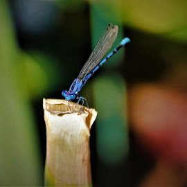 Blue bug eyes by Bruce Newman - Animals Insects & Spiders ( dragonfly, natural light, nature up close, insects, colorful,  )