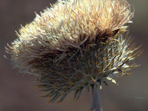 Photo: Thistle Flower Head with Web