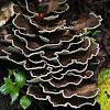 Polyporales fungi