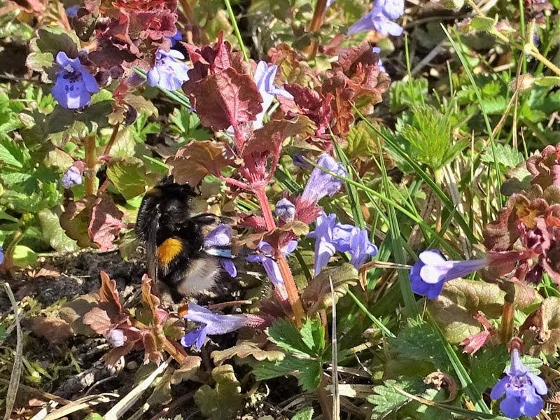 2019-04-15 LüchowSss Garten 10-11 Uhr (10) Dunkle Erdhummel (Bombus terrestris) + Gundermann (Glechoma hederacea, )