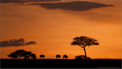Photo: Tanzania Sunset RJB's Wildlife in Tanzania Tour, October 2011 please email me - ray@raymondbarlow.com  Natural light and natural backgrounds only in my wildlife images.  Special thanks to all of my guests for joining these workshops!  It is very much a privilege to help people with the great hobby of Photography. Email me for more info on custom and private workshops.  1/1000s f/4.0 at 400.0mm iso250