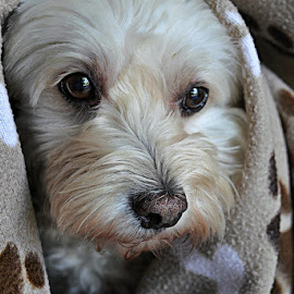 T - doggy blanket by B Lynn - Animals - Dogs Portraits ( pet., blankets., faces., face., mutts. )