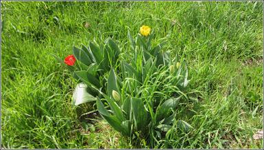 Photo: Lalea (Tulipa)  din Turda, Str. Salinelor, Nr. 15 - 2019.04.09