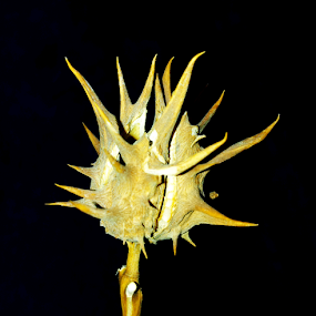 horned thorns by Gerrit Symons - Nature Up Close Flowers - 2011-2013