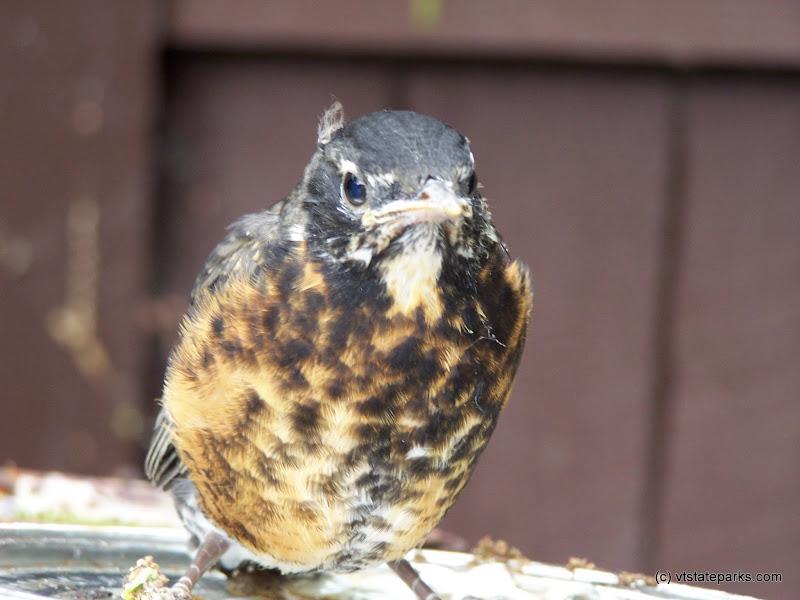 Photo: Baby robin at Grand Isle State Park