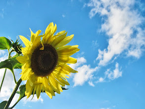 Photo: Bright sunflower in a bright sky at Cox Arboretum and Gardens of Five Rivers Metroparks in Dayton, Ohio.