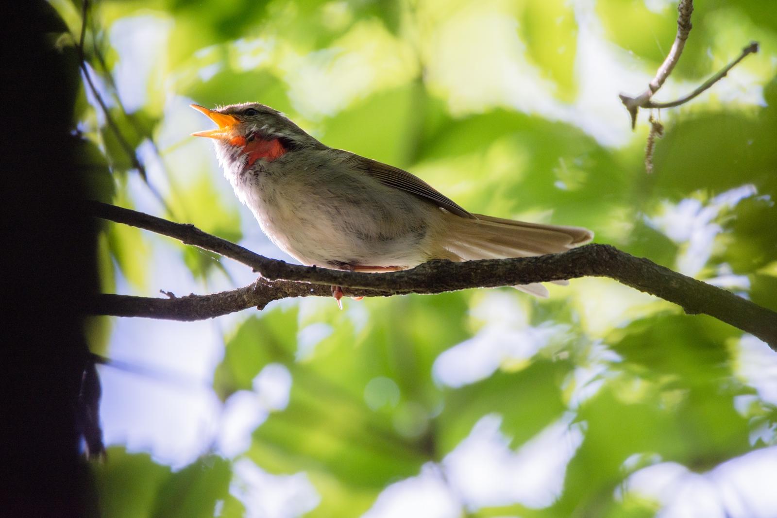 Photo: 「美しい響き」 / Beautiful voice.  届け届け どこまでも 精いっぱいに喉を震わせ 想いをのせて歌を歌う  Japanese Bush Warbler. (ウグイス)  ※喉は怪我等ではなく 喉を膨らませることで毛が逆立ち肌が見えています。  Nikon D7200 SIGMA 150-600mm F5-6.3 DG OS HSM Contemporary  #birdphotography #birds  #kawaii #ことり #小鳥  #nikon #sigma   ( http://takafumiooshio.com/archives/2462 )