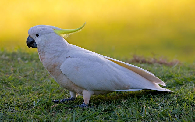 Cockatoo - New Tab in HD