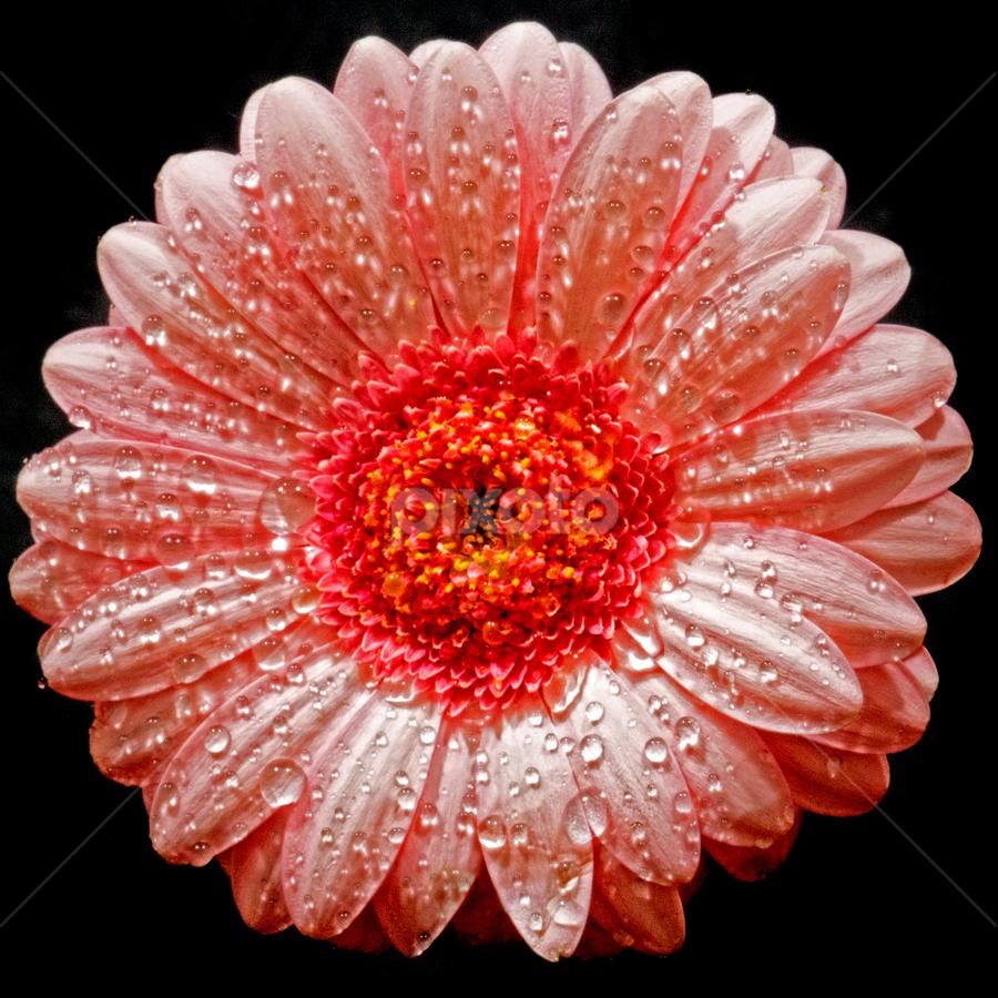 Flower by John Phielix - Flowers Single Flower (  )
