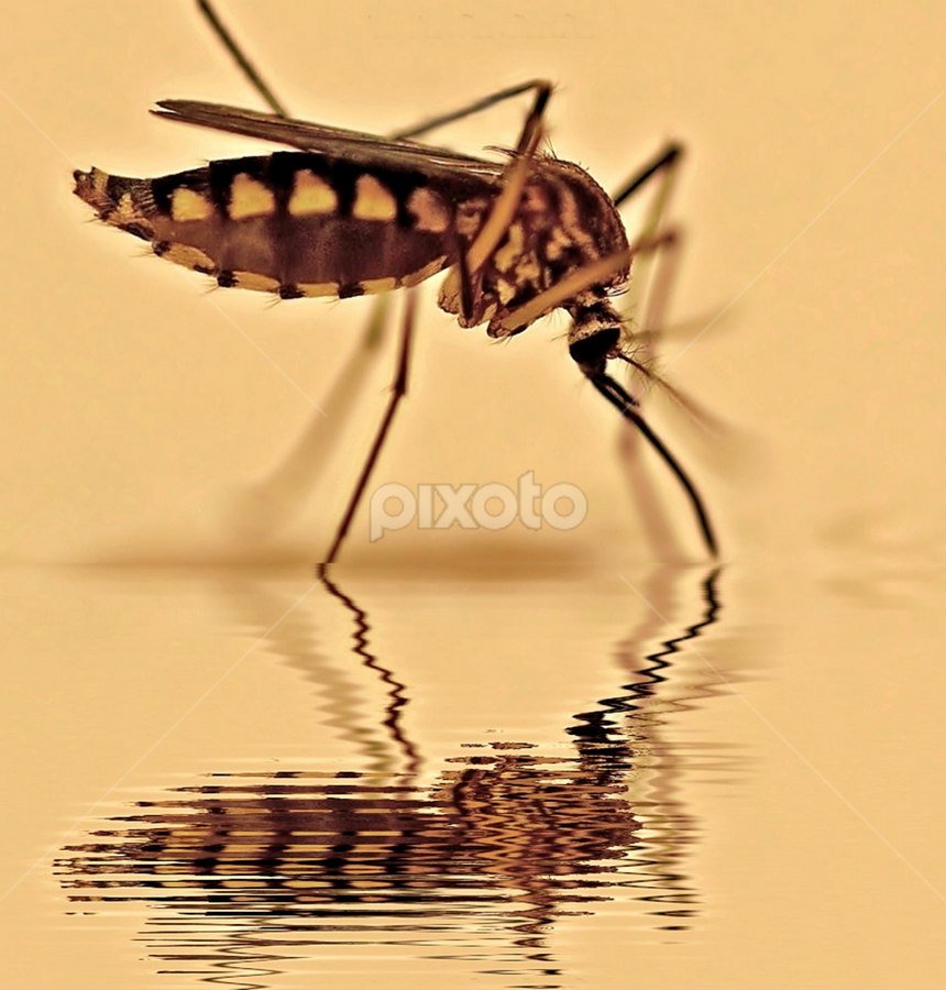The Blood Sucker by Aroon  Kalandy - Abstract Fine Art ( macro, reflection, mosquito, tamron, blood sucker )