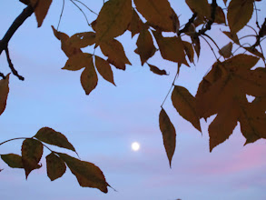 Photo: Full moon seen between the leaves at dusk at Eastwood Park in Dayton, Ohio.
