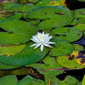 Water Lily by Rob Frederick - Nature Up Close Flowers - 2011-2013 ( water, white flower, lily, lily pads, water lily, nature, green, color, food, concept )