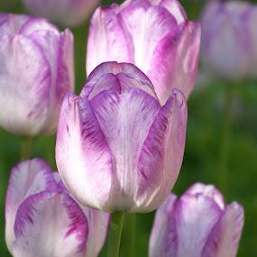 springtime by Carol Keskitalo - Novices Only Flowers & Plants ( spring flowers, tulips )
