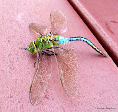 Photo: (Year 3) Day 79 -  Beautiful Dragon Fly